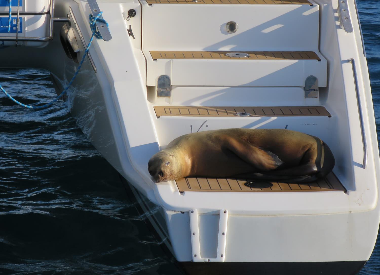 Sea Lion - Galapagos - Catana 42 Viramundo