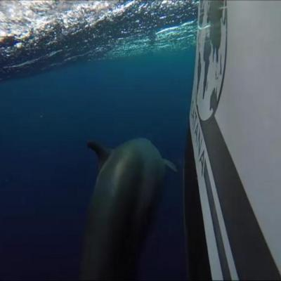 Catana 50 with dolphins